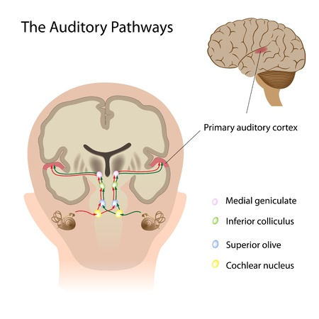 The auditory pathways Vector