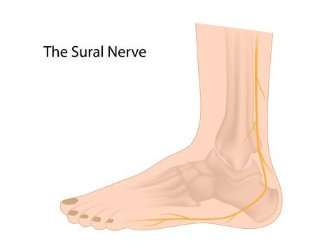 enten: Sural zenuw gebruikt voor biopsie en graft Stock Illustratie