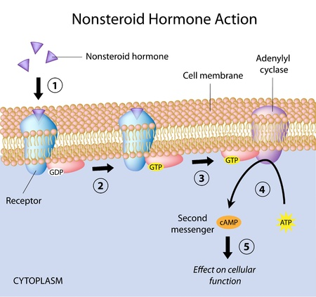 Acción hormonal no esteroidea Ilustración de vector