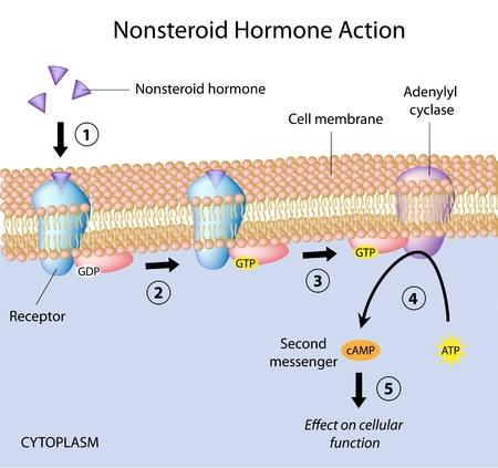 hormonas: Hormonas acción no esteroideos Vectores