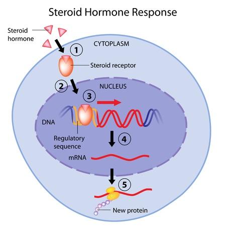 스테로이드 호르몬의 작용 일러스트