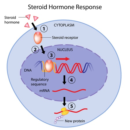 hormonen: Steroïdhormonen actie Stock Illustratie