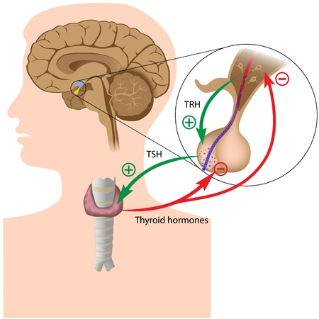 pituitary gland: Negative feedback in the pituitary thyroid axis