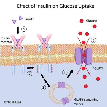 Efecto de la insulina sobre la captación de glucosa Ilustración de vector