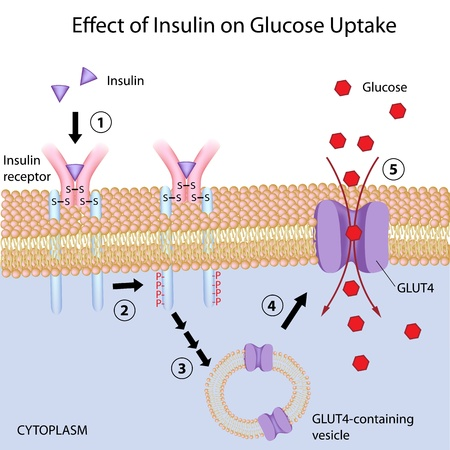 beta cells: Effect of Insulin on glucose uptake
