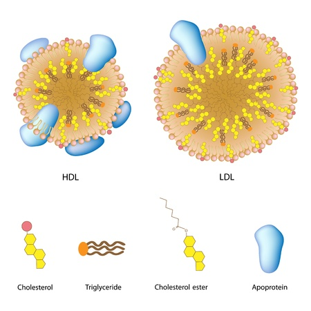 Lipoproteins of the blood, LDL and HDL Vector