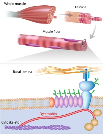 muscle cell: Muscle fiber structure showing dystrophin location. Dystrophin is commonly mutated in muscular dystrophy diseases
