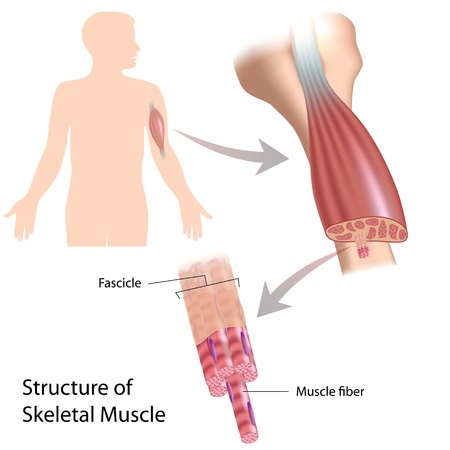 fibra: Muscolo scheletrico struttura Vettoriali