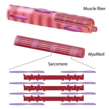 musculo: Estructura de fibra de m�sculo esquel�tico