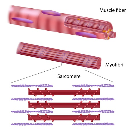 skeletal muscle: Structure of skeletal muscle fiber