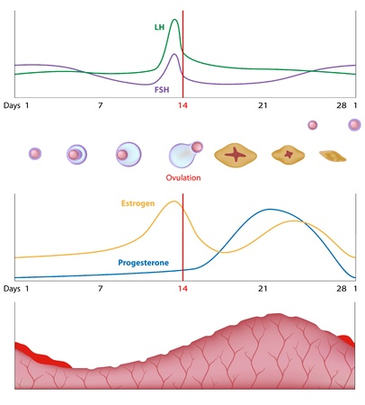 sistema reproductor femenino: Ciclo sexual femenino Vectores