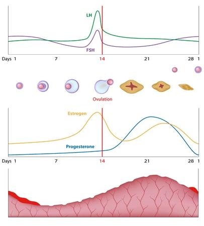 hormonen: Vrouwelijke seksuele cyclus Stock Illustratie