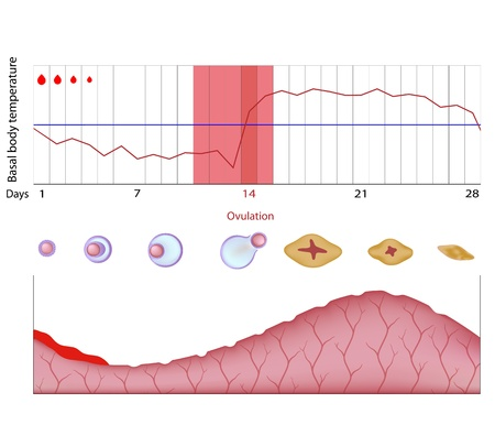 endometrium: Fertility chart Illustration