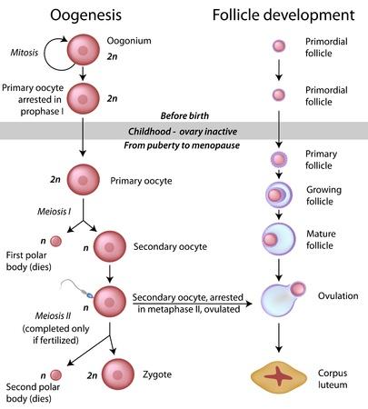 meiosis: Oogenesis