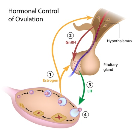sexual anatomy: Hormonal control of ovulation Illustration