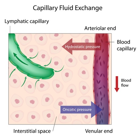 Capillary Fluid Exchange Vector