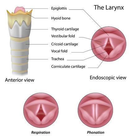 Anatomy of the larynx Vectores