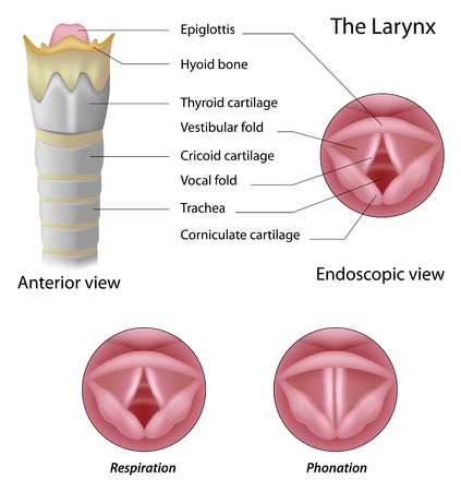 vestibular: Anatomy of the larynx Illustration