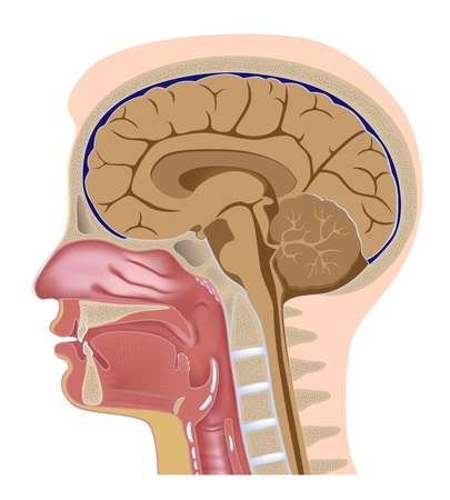 throat: Median section of human head