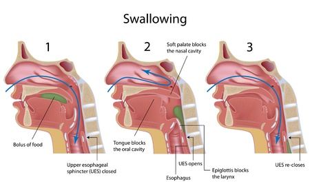 median: Swallowing process Illustration