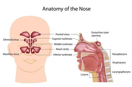 鼻の解剖学  イラスト・ベクター素材