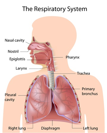 The respiratory system, labeled