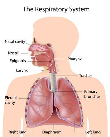 anatomia: El sistema respiratorio, etiquetados