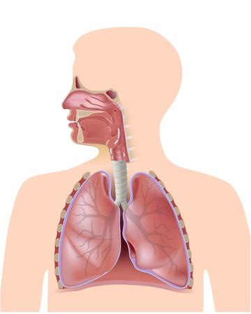 Il sistema respiratorio Vettoriali