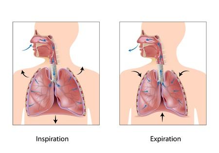 aparato respiratorio: Ciclo de la respiraci�n, expiraci�n inspiraci�n