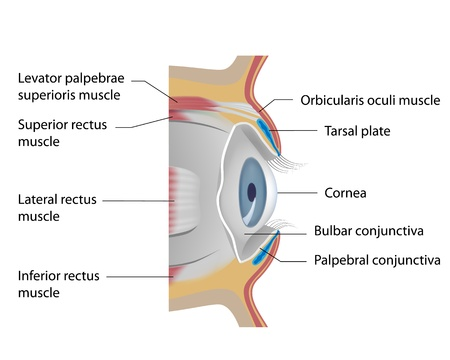 inferior: Eye conjunctiva Illustration