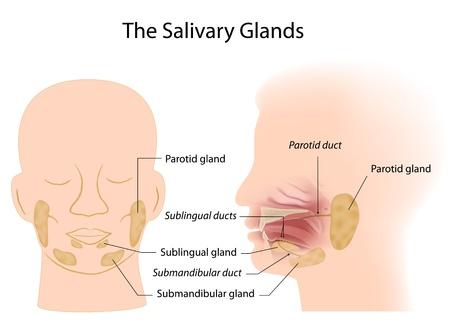 digestive health: Gl�ndulas salivales