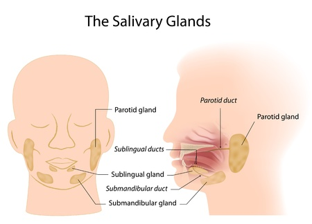 glands: Salivary glands