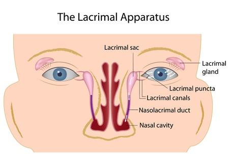 The lacrimal gland