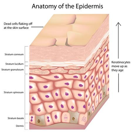 epiderme: 3d anatomie de l'�piderme Illustration