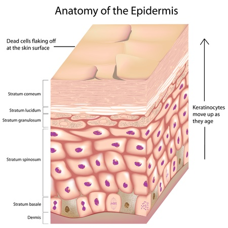 epidermis: 3d anatomy of the epidermis