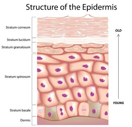Epidermis of the skin Vectores