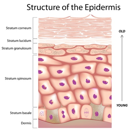 exfoliation: Epidermis of the skin Illustration