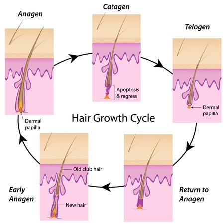 follicle: Ciclo de crecimiento del pelo