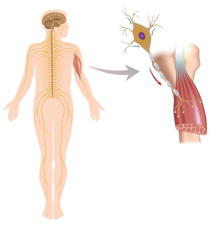 Motor neuron stuurt spierbewegingen Vector Illustratie