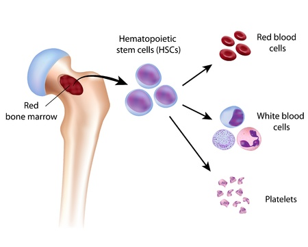 Blood cell formation from bone marrow Vector