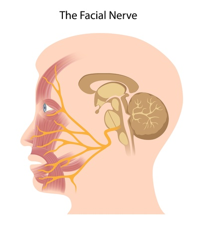 The facial nerve Vector