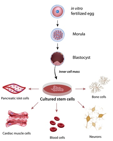 embryonic: Stem cells cultivation and differentiation