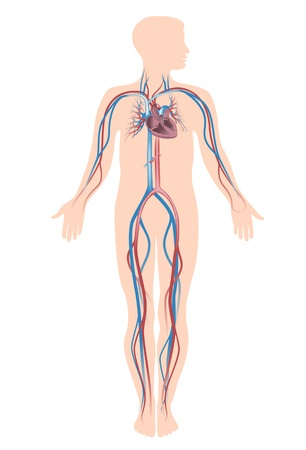 blood circulation: Human circulation system