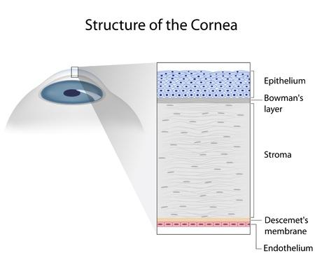 cornea: Struttura della cornea umana