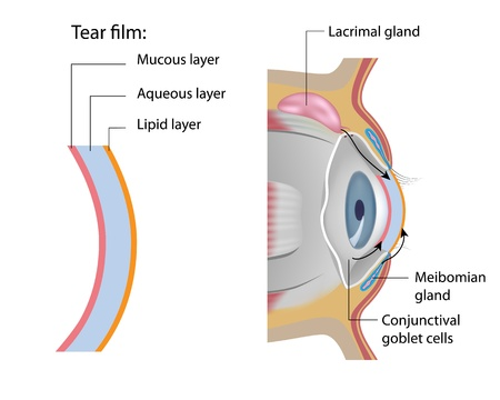 cornea: Tear film formation Illustration