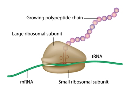 Ribosome and translation 版權商用圖片