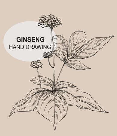 Ginseng plant. Medicinal plant hand drawing. Vector graphics. Vintage images