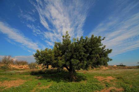 Locust tree photo