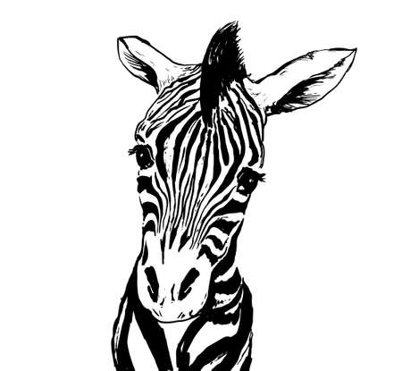 Graphical image of zebras isolated on white. Perfect for t-shirt print, cover, poster and etc.