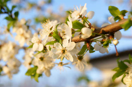 Apricot in bloom